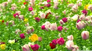 Hinh-Nen-Canh-Dong-Hoa-Tulip-Dep-5-1024x576
